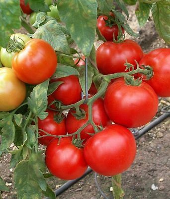 Tomato Seeds Mobile Ukraine Heirloom Vegetable Seeds / 60 seeds