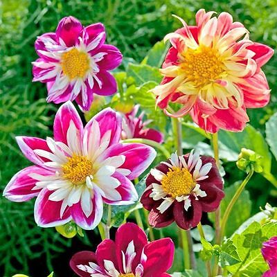 Dahlia Variabilis Flower Seeds Dandy annuals from Ukraine. 45 SEEDS