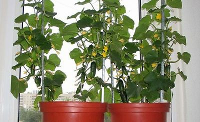 Cucumber Seeds Indoor F1 Vegetable seeds average from Ukraine. 12 SEEDS
