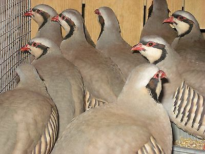 10+ CHUKAR PARTRIDGE Hatching eggs, quail, pheasant,partridge eggs shipping  now