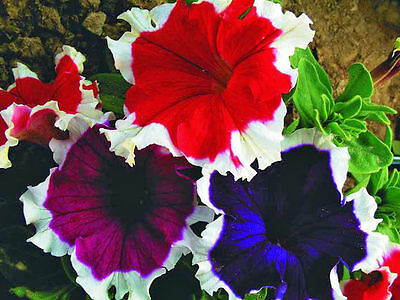 Petunia Pikoti low mix F1 Flower Seeds from Ukraine