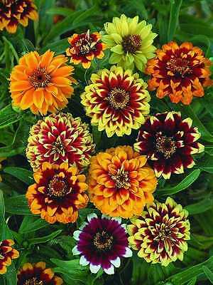 Zinnia haageana Persydskyy Carpet Flowers Seeds from Ukraine