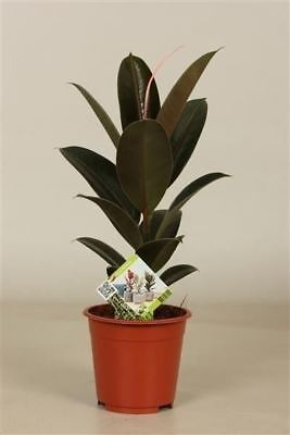 Rubber Plant Ficus elastica 'Melany' in a 14cm pot.  Rarely offered