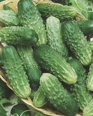 Cucumber seed Rufus F1 Vegetable Heirloom Seed from Ukraine Gherkin