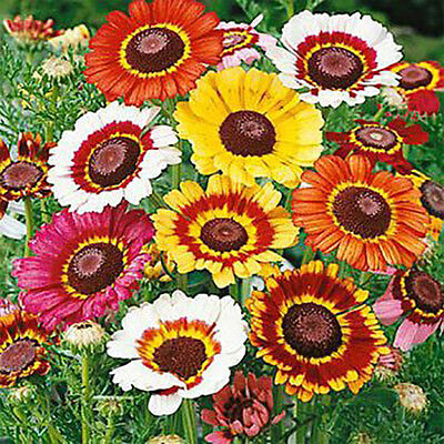 Tricolor Painted Daisy Mix 250 seeds Chrysanthemum carinatum *Colorful*  CombSH