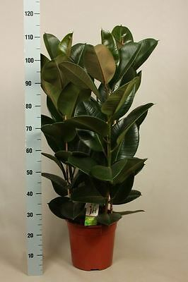 Large Rubber Plant in a 27cm pot. Approx 110-120cm tall.