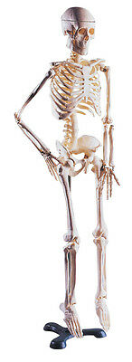 Anatomical Desktop Half Size Skeleton Model with Stand