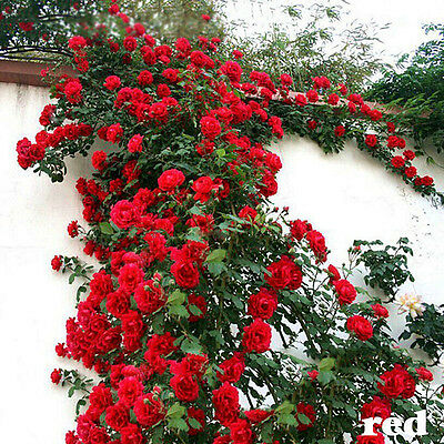Red Climbing Rose Seeds Rosa Multiflora Perennial Fragrant Flower 100PCS