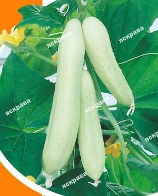 Cucumber Seeds Chinese White Ukraine Heirloom Seed