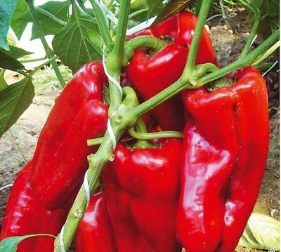 Pepper Seeds Spanish sweet Red giant. Vegetable Seeds  Ukraine Heirloom