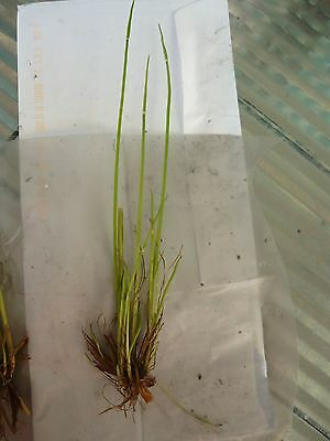 2 X DWARF PAPYRUS / POND/ WATER PLANT for $12 / Free Postage