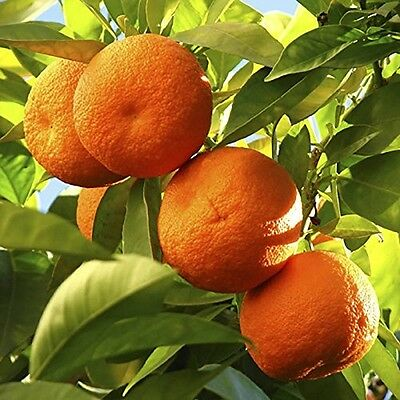 Home Plants Orange Tree Citrus 1.2M Tall 6.5 Litre Pot In Outdoor Easy to Grow