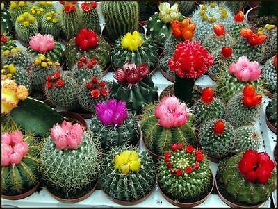Cactus mix (A mixture of varieties) indoor Flower Seeds from Ukraine