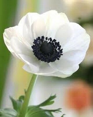 BOGO 50/% off SALE Red Pasque Flower 25 Seeds Anemone Pulsatilla Vulgaris