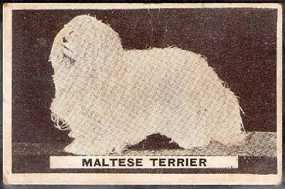 Original  Sweetacre Gum Australian Card Maltese Terrier Dog 1932