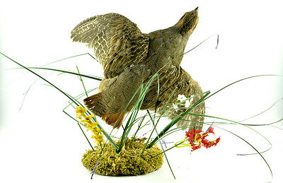 Flying Grouse Premium Taxidermy Wall Mount