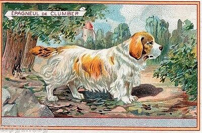 Clumber Spaniel Dog Rare French Chicory Advert Card c1900