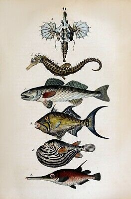 Set of 2 x Natural History Book Repro Illustration Prints of Fish 1850
