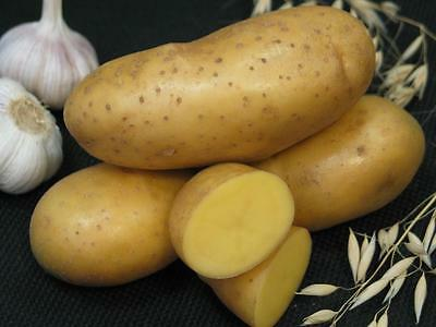 Potato seeds Empress Vegetable seeds from Ukraine / early
