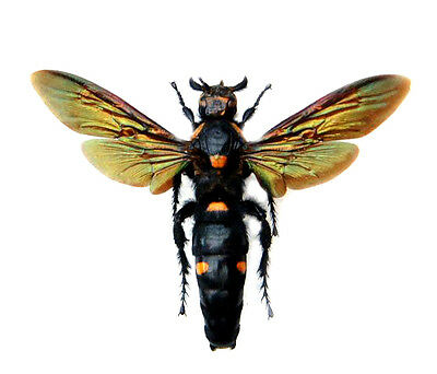 Taxidermy - real papered insects unmounted : Megascolia procer javanensis FEMALE