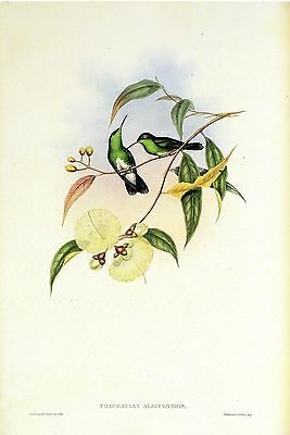 """1990 Vintage HUMMINGBIRD #111 /""""YELLOW FRONTED PANOPLITES/"""" GOULD Art Lithograph"""