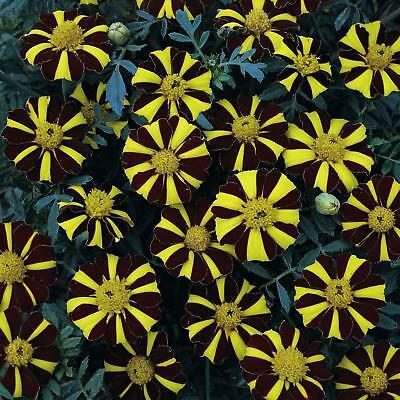 New Pack Kings Seed French Marigold 'Mr Majestic' Flower Seeds