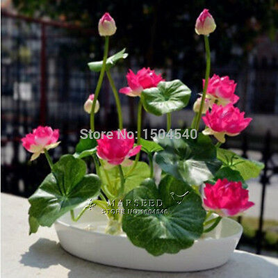 10Pcs Mix Color Small WATER LILY Mini LOTUS Seeds, Bonsai Plants Flower Seeds