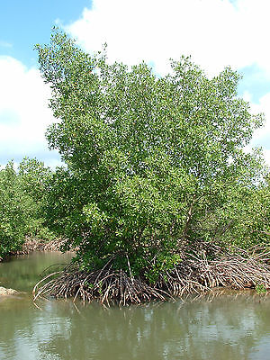 50 Graines de PALETUVIER ROUGE (Rhizophora mangle) 50 RED MANGROVE Seeds-Filtre