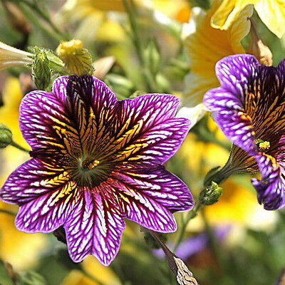 30pcs Pained Longue Seeds Salpiglossis Sinuata Original Packaging Flower Seed