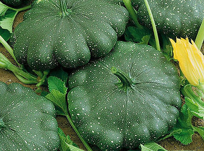 Squash Zucchini seeds Jet Heirloom Vegetable Seed from Ukraine