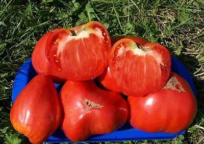 Tomato Seeds *Canaries* Heirloom Vegetable Seeds / Resistant to heat/ 60 SEEDS