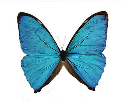 Taxidermy - real papered insects unmounted : Morpho aega