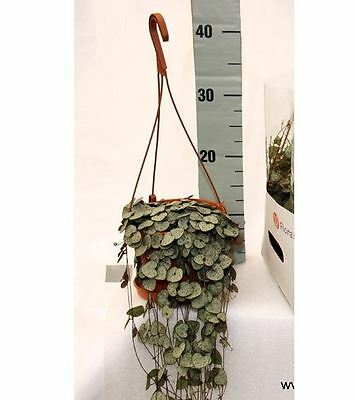 Ceropegia Woodii Plant Trailing Plant in a 14cm Hanging Pot.