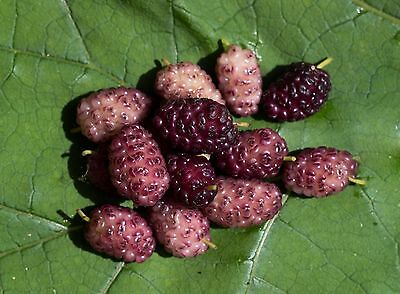 VIOLET Mulberry Tree Bush Fruit Morus Rubra Morus Alba Seeds  Fruit Seed