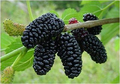 BLACK Mulberry Tree Bush Fruit Morus Rubra Morus Alba Seeds  Fruit Seed