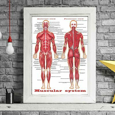 MUSCULAR SYSTEM - Human Body Chart Poster Print Sizes A5 to A0 **FREE DELIVERY**