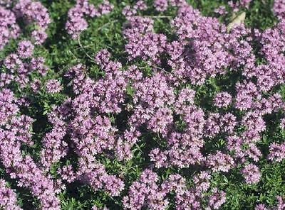 New Pack x6 Creeping Thyme 'Red Coccineus' Perennial Garden Herb Plug Plants