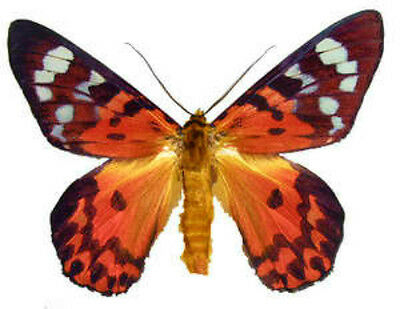 Taxidermy - real papered insects : Moths : Dysphania cuprina