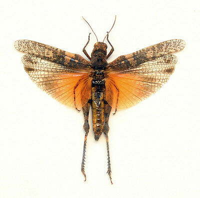 Taxidermy - real papered insects :  calaptenopsis glaucopsis 3 colorform SPREAD