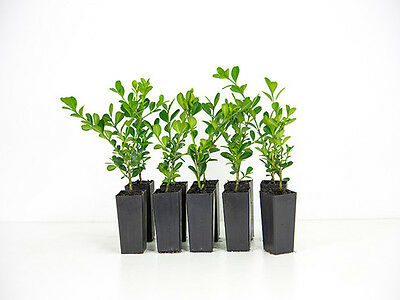 Buxus microphylla japonica -Japanese Box 20 Plants Free Postage Hedge | border