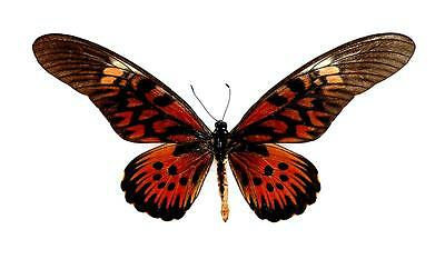BUTTERFLY/MOTH/MOUNTED Central African Stunning Giant Framed PAPILIO ANTIMACHUS