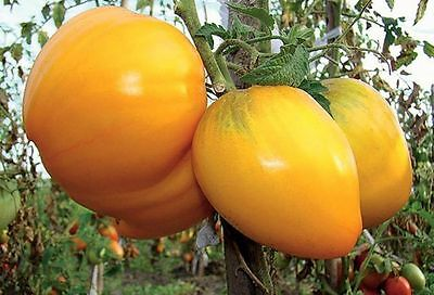 Tomato Seeds Bull Heart Yellow Ukraine Heirloom Vegetable Seeds