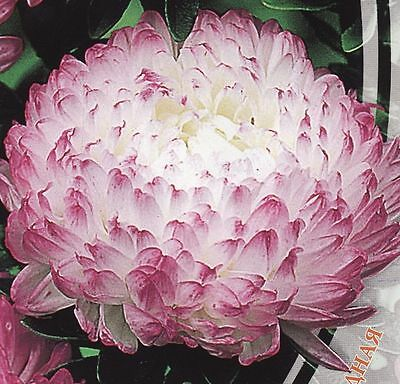 Aster Flower Seeds Peony Anel annual from Ukraine