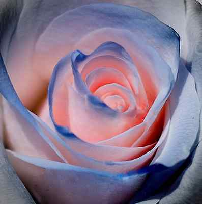 Blue and Pink Rose Seeds Rare Unusual Stunning Garden Plant