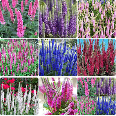 400pcs Multi-color Speedwell Flower Seeds Perennial Easy Ground Cover Garden Hot