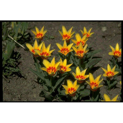 Water Lily Tulip Bulbs - By Taylors Bulbs