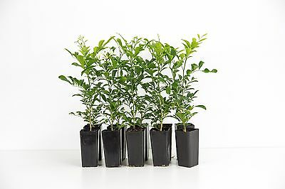 Murraya paniculata 20 plants Mock Orange white flowering perfumed hedge 2-3 metr