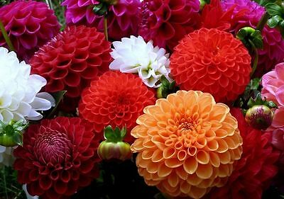 Dahlia Flower seeds Pompon mix from Ukraine
