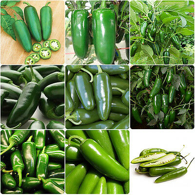 100pcs  Jalapeno Pepper Seed Organic Spicy Mexican Chili Home Garden Vegetables