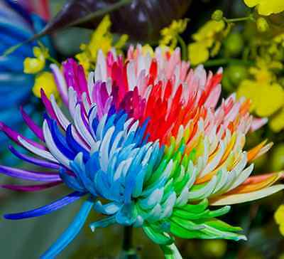 Rainbow Chrysanthemum Seeds Rare Unusual Stunning Garden Plant